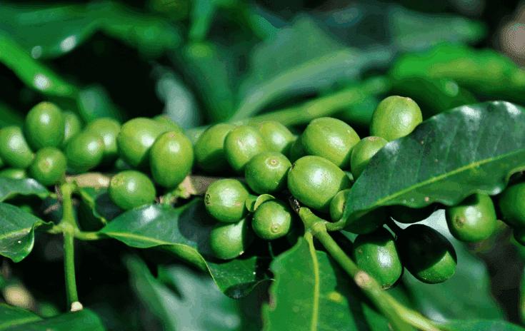 recensioni di estratto di chicco di caffè verde phytogenix