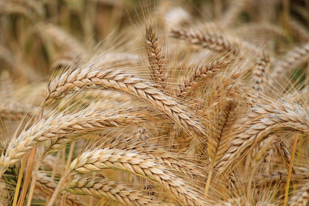Campo di spighe grano - ,materia prima utilizzata per la realizzazione dell'acido azelaico