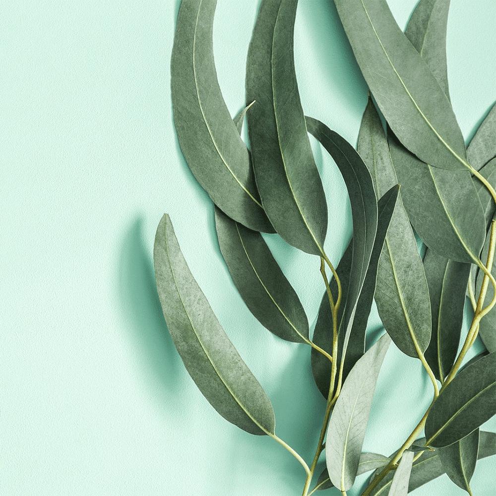 Olio essenziale di Eucalipto: Proprietà, usi e benefici