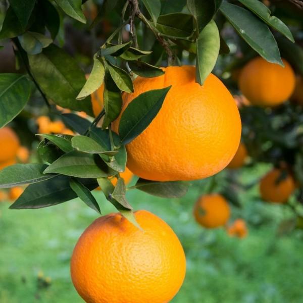 Citrus Sinensis Dulcis