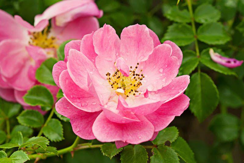 Proprietà Olio di rosa mosqueta