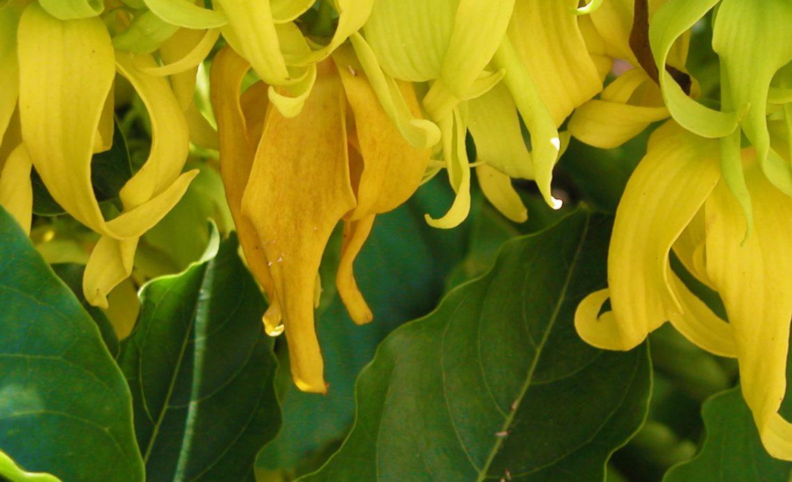 ylang ylang fiore