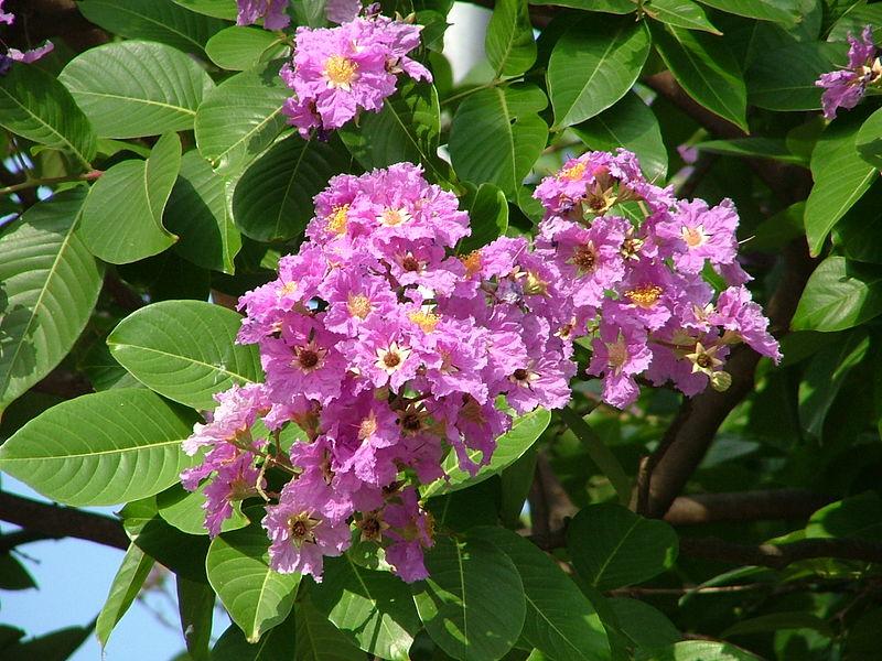 Banaba fiore