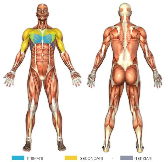 Schema dei muscoli coinvolti durante gli esercizi alla panca piana