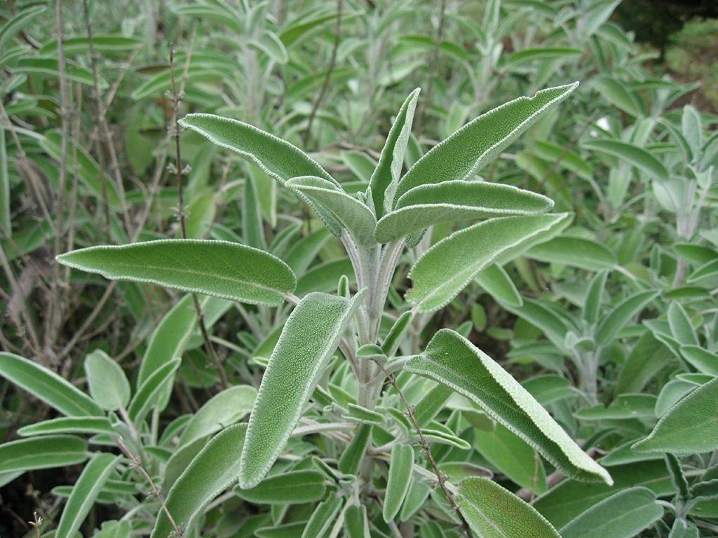Dieta Dent ingrediente Salvia officinalis